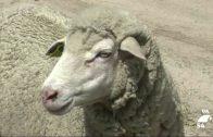 Más de 220.000 euros para programas de sanidad animal en Los Pedroches
