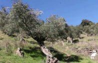 Concederán ayudas para fomentar la innovación en el olivar