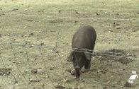 Abordan la situación del porcino en la comarca de Los Pedroches