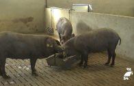 Respaldan el trabajo de recuperación de cerdo ibérico de la variedad torbiscal en la finca La Romana