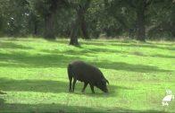 Promueven un cambio de la Norma de Calidad del cerdo ibérico