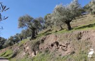 Córdoba vuelve a liderar la producción de aceite de oliva ecológico a nivel nacional