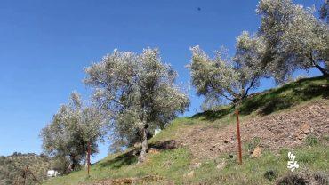 ¿Cómo será la polinización del olivo en esta primavera?
